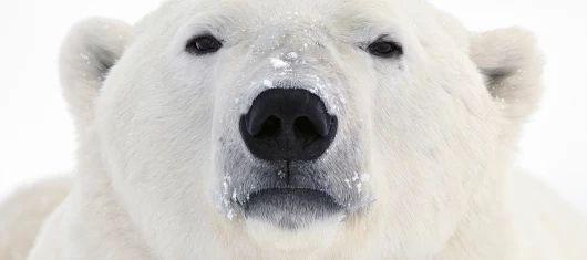 Polar Bear Characteristics - Polar Bears International