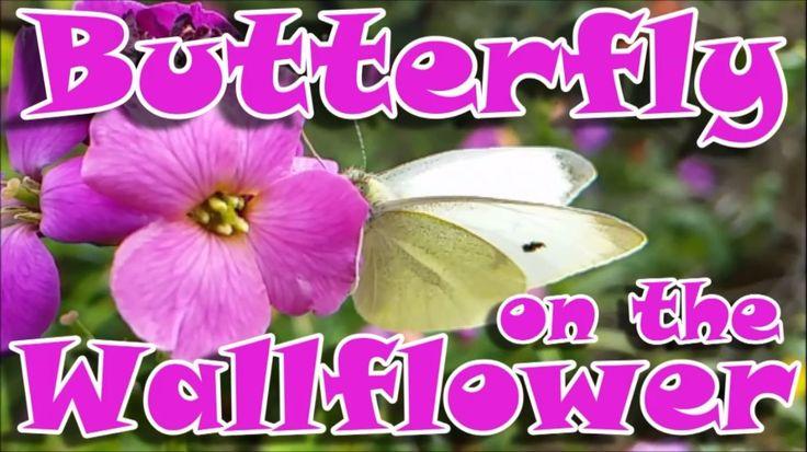 Butterfly on the Wallflower