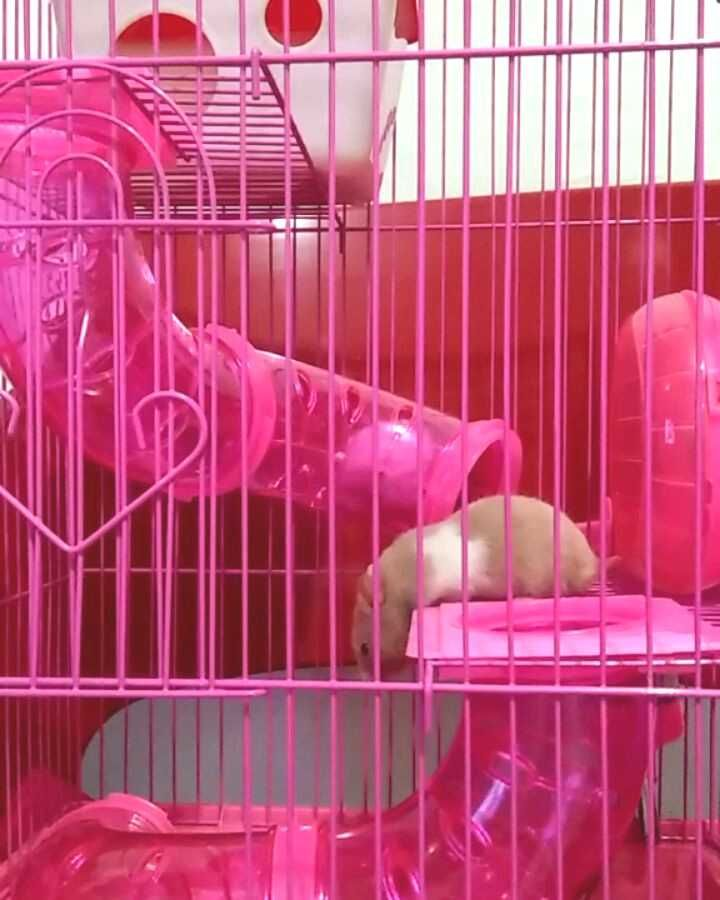 Hamsterselfie Syrianhamster Hamstercages Adaptation Hamster Cage New Ham A Adaptation A New Cage Syrianhamster In 2020 Hamster Cages Syrian Hamster Hamster