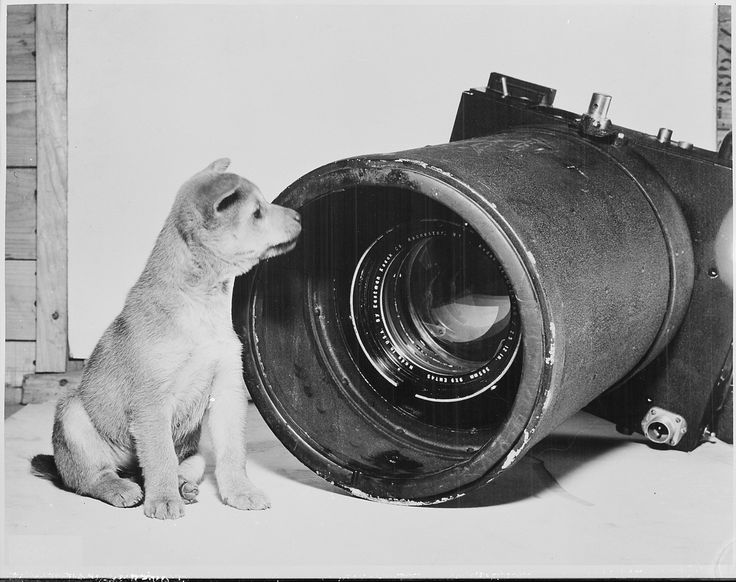 """File:An unabashed Korean puppy holds his ground in an """"eye to eye"""" encounter with a huge Fifth Air Force aerial camera... - NARA - 542230.tif"""