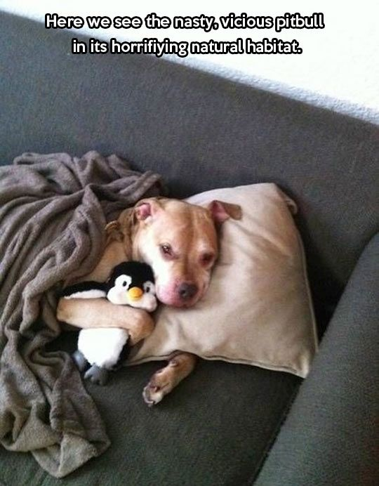 A day in the life of a vicious pitbull… PitBulls for life <3