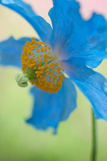 Himalayan Blue Poppy - This color blue is the color of my insides~