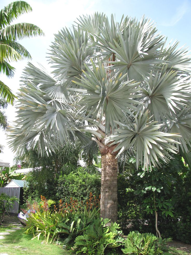 silver bismarckia palm   Bismarckia Palm
