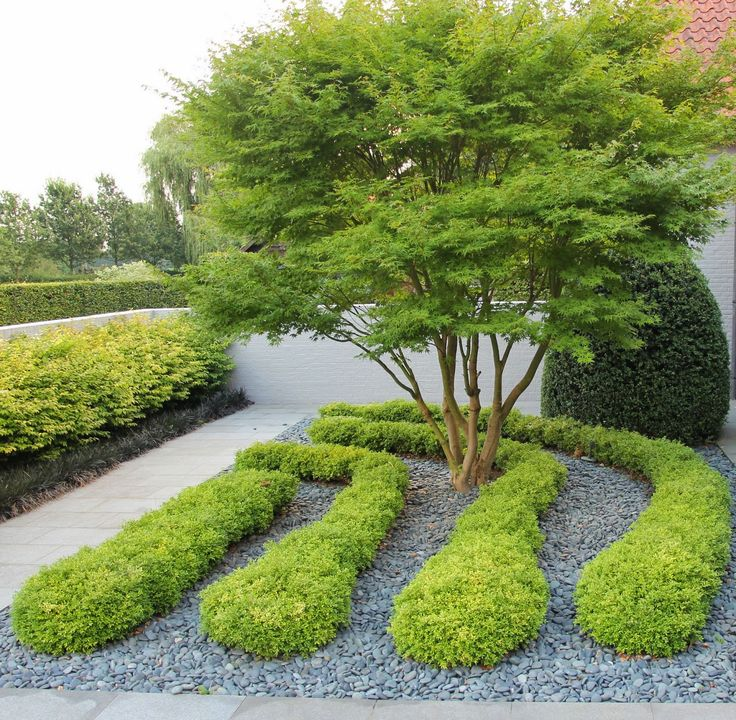 Buxus Rococco and a Japanese Acer.