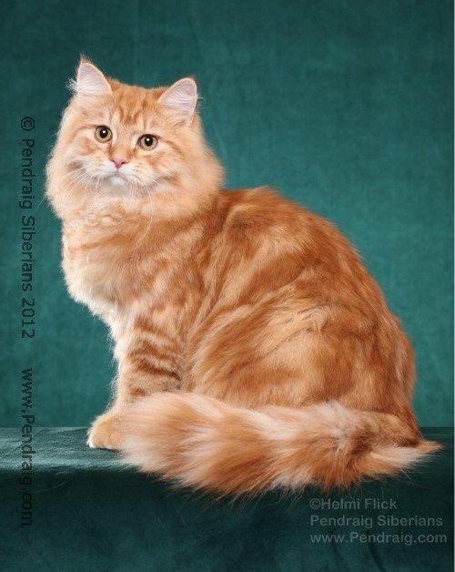 Long Haired Ginger Tabby Cat