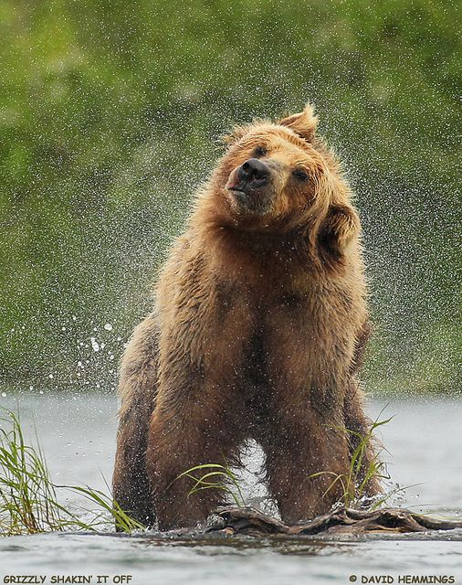 ~~Give Your head a Shake ~ Grizzly Bear Shakin' It Off by Nature's Photo Adventures - David Hemmings~~