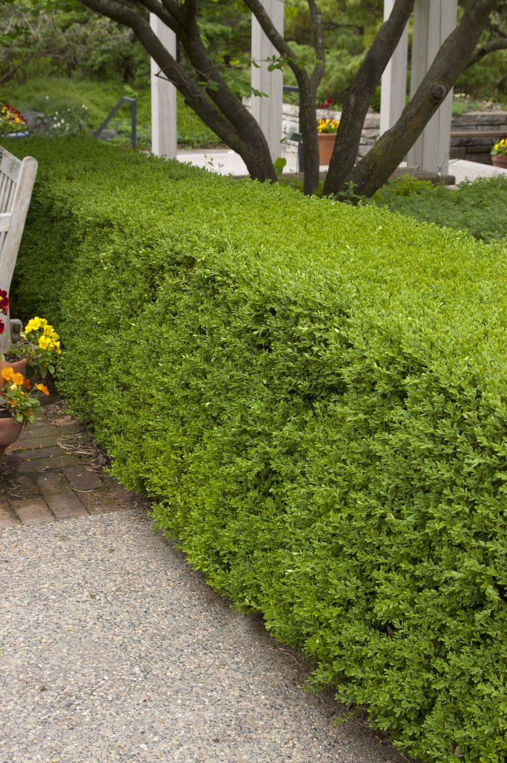 Wintergreen #Boxwood is a broadleaf #evergreen. No matter where you want to use it—as a hedge, an accent…or even pruning into topiary, Wintergreen Boxwood will gladly accept the challenge and thrive. It will grow up to 3' tall with a 5' spread. It doesn't yellow like some other Boxwoods do in the winter, but rather maintains its vibrant green coloring throughout the cold months. Zones 4-9.