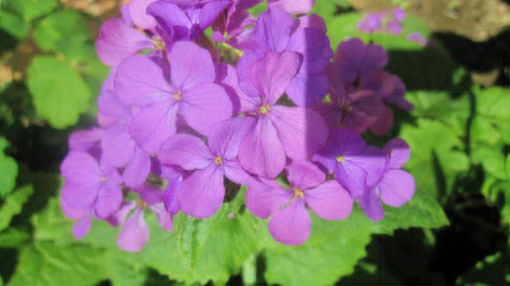 Sedef çiçeği-Lunaria annua