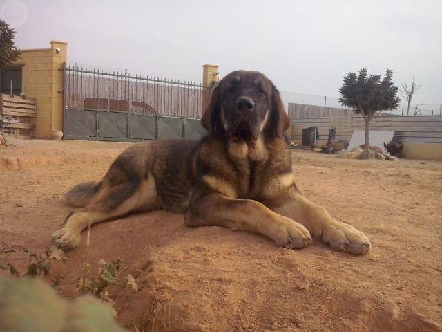 MIL ANUNCIOS.COM - Cachorros mastin español. Compra-venta y regalo de mascotas cachorros mastin español