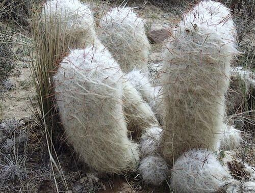 why is the old man cactus hairy