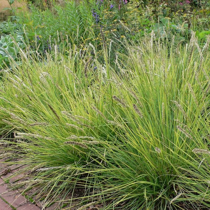 """Autumn Moor Grass, Sesleria autumnalis is a cool season ornamental grass. Springtime blades emerge green and may reach a height of 18"""", only to give rise to silvery and slender blooms that take the th"""