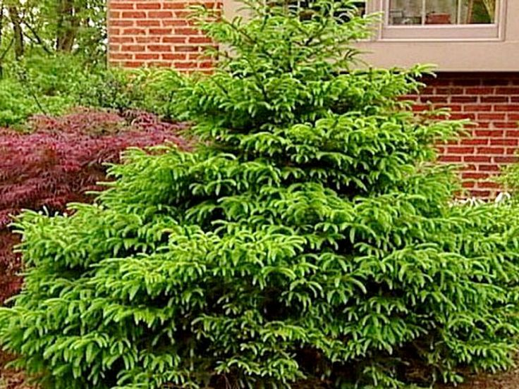 Best 25 dwarf evergreen trees ideas on pinterest for Pretty low maintenance flowers