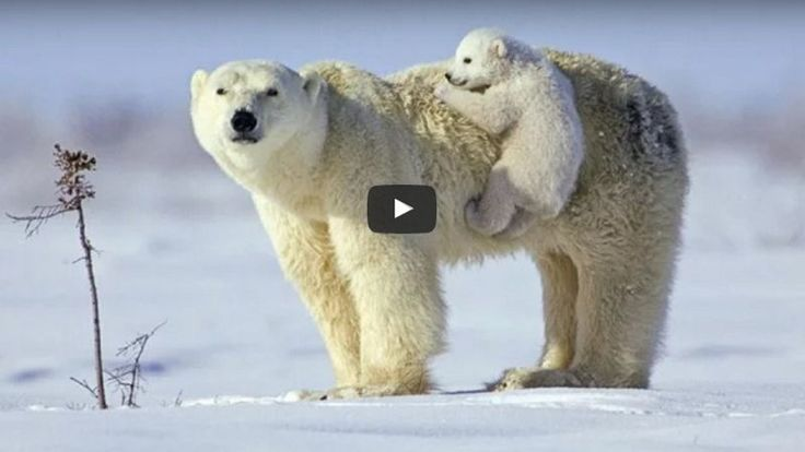 Polar Bears Threatened With Extinction, Elevated Temperature Destroys The Natural Habitat (VIDEO)