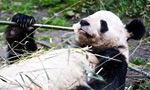 I'm watching the @exploreorg #PandaCam, streaming live from Gengda Wolong Panda Center in Sichuan, China: