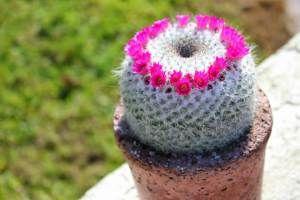 Flores de cactus impactantes   En PFC