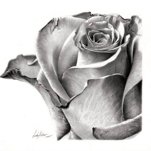 Rose Drawing - by Linda Huber