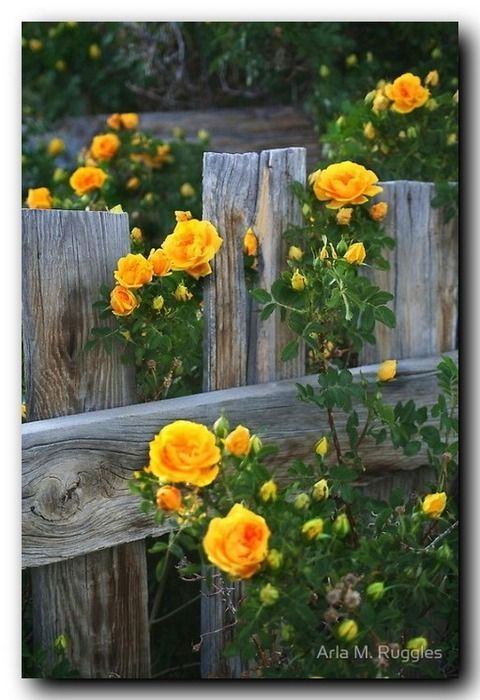 Persian Yellow Climbing Roses .... I love these roses. They are the first roses to bloom in my garden in early summer & than again in early Fall ... their fragrance is wonderful