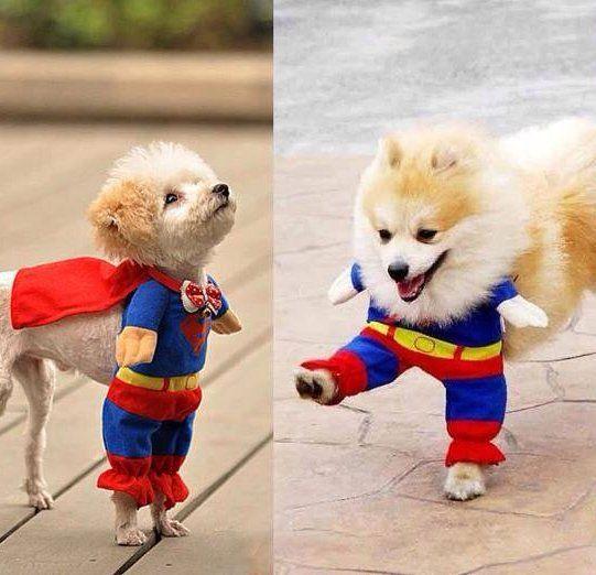 Fancy costume super hero pour chien josh pinterest d guisements et h ros - Deguisement halloween chien ...