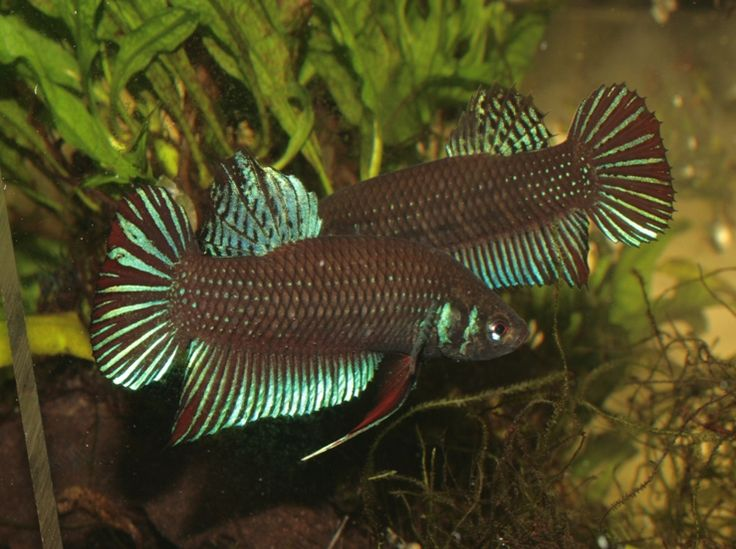 30 best images about beautifulbettababy on pinterest for Wild betta fish