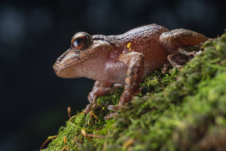 https://flic.kr/p/Tx7nvE | Pristimantis gr. taeniatus | This direct-developing frog inhabits cloud forest along the western slopes of the Cordillera Oriental in eastern Colombia. This female is one of the largest individuals I've found during years of fieldwork in this region, attaining well over 35mm of snout to vent length. Adult males are strikingly smaller in comparison.  Strobist data: two Nikon SB600 speedlights with softboxes placed at 12:00 and 9:00 o' clock. Flashes set on TTL mode…