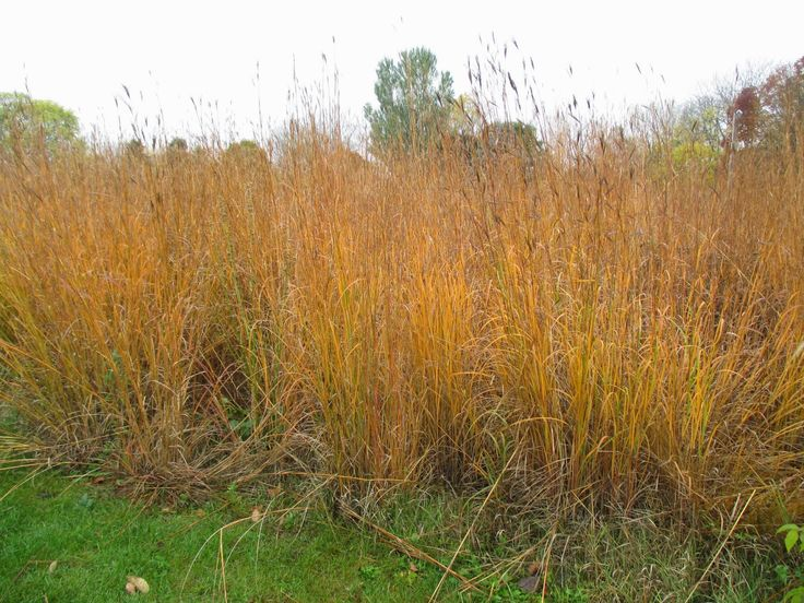 192 best images about horticulture grasses for zones 2 3 4 on pinterest - Drought tolerant grass varieties ...