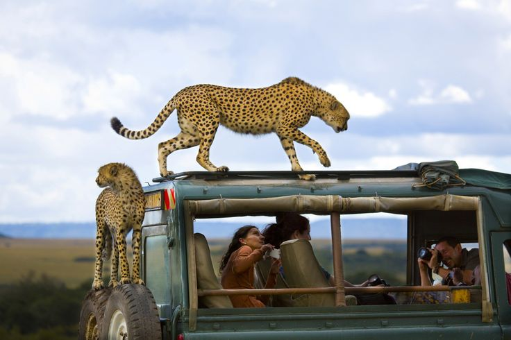 Cheetahs jumped on the vehicle of tourists