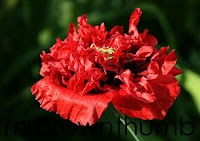 I love poppies but have never been able to get them to come up. I think I wait too late to start them.