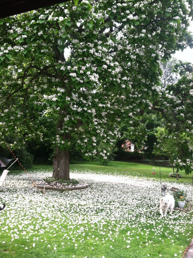 I think this is a Catawba tree in full bloom one week after Scott and Sheries wedding