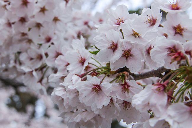 Raina's Japan Travel Journal: Aizu-Wakamatsu Cherry Blossom Report