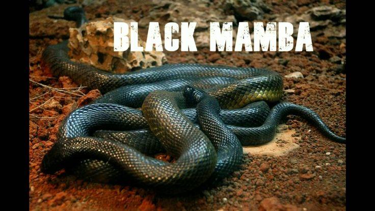 dangerous snakes world black mamba snake black mamba snake