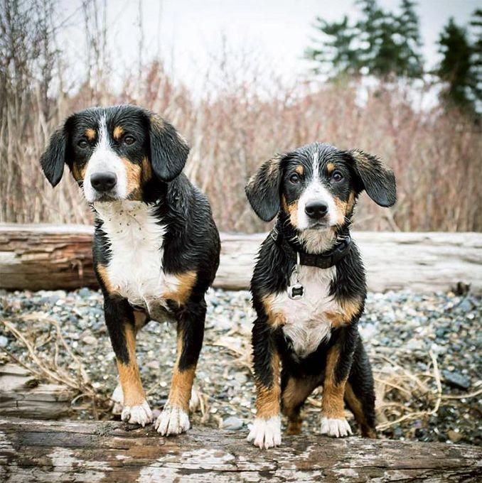 Entlebucher Mountain Dog Puppies Entlebucher Mountain Dog Mountain Dog Breeds Dogs