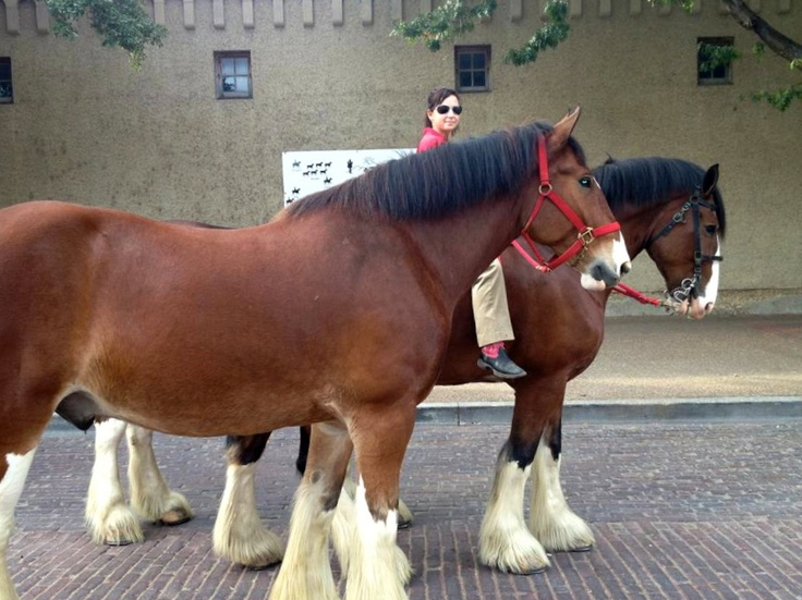 1000+ Images About The Budweiser Horse On Pinterest