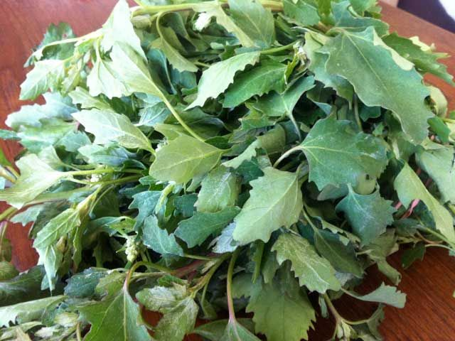 Lambs quarters aren't meat--they're a spring green, and they're early to local markets. We've got 5 ways to enjoy them.
