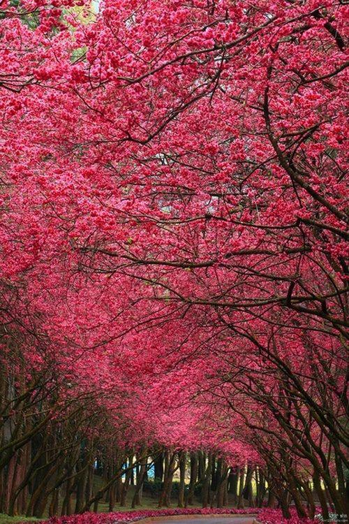 Cerejeiras em flor em Nara, Japão.