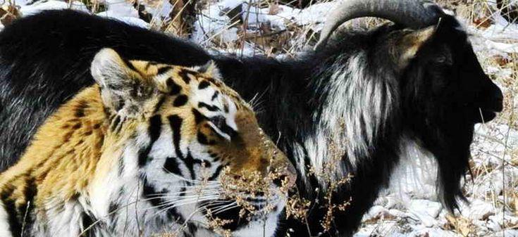 За необычным поведением двух обитателей Новосибирского зоопарка следят жители разных регионов России. Странные отношения между тигром и его в буквальном смысле пищей перешли в стадию дружбы. Речь