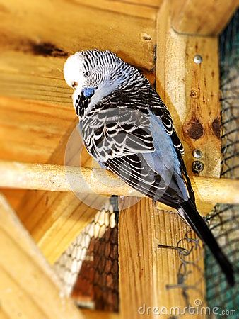 A close-up view of a grey blue female adult show budgie in an aviary.