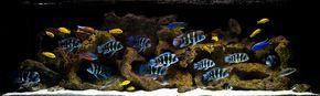 Aquarium Design Group - An Aquascape for Frontosa