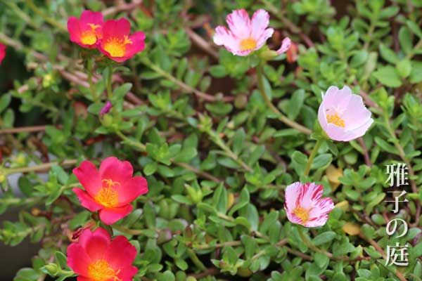 育て ポーチュラカ 方 の 虹色ポーチュラカの育て方や特徴、夏の様子