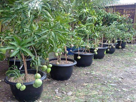Luas Kebun Mangga
