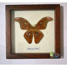 Бабочка в рамке под стеклом Атакус Атлас - Attacus Atlas (лат.)