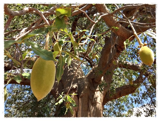 For the last 10 years, every February or March, I go out on a research field trip to do some baobab fruit monitoring.