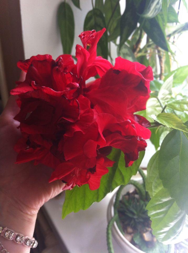 Гибискус, комнатное растение