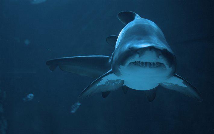 Scarica sfondi squalo, subacqueo, oceano, è un animale pericoloso, predatore