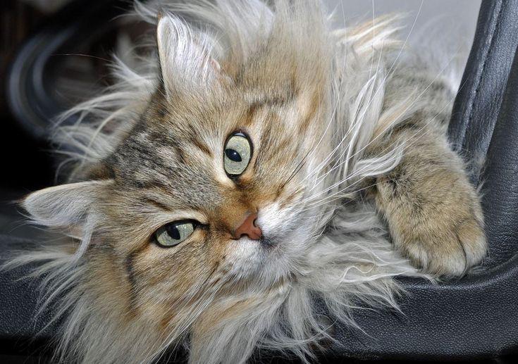 Un chat Sibérien au regard indéchiffrable