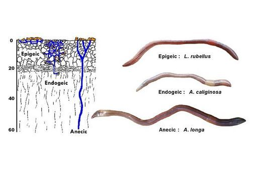 4.View the Earthworm niche groupings image. Look at the blue lines representing earthworm burrows. Discuss possible explanations for the different burrow widths and depths.