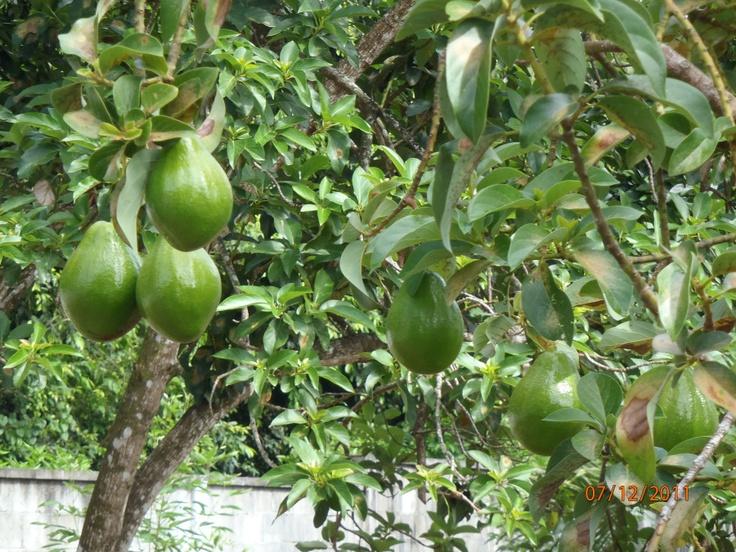 Lovely Hall Avocado Tree