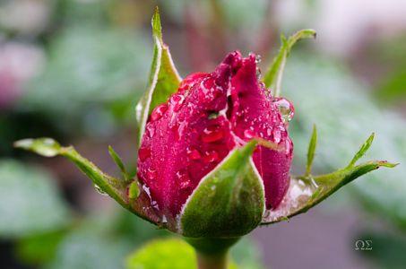 Rosenknospe im Regen