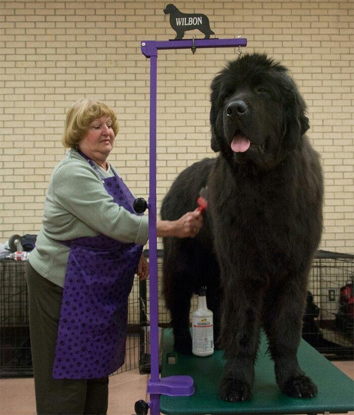 Newfoundland Dog Newfoundland dog, Large dog breeds, Dog