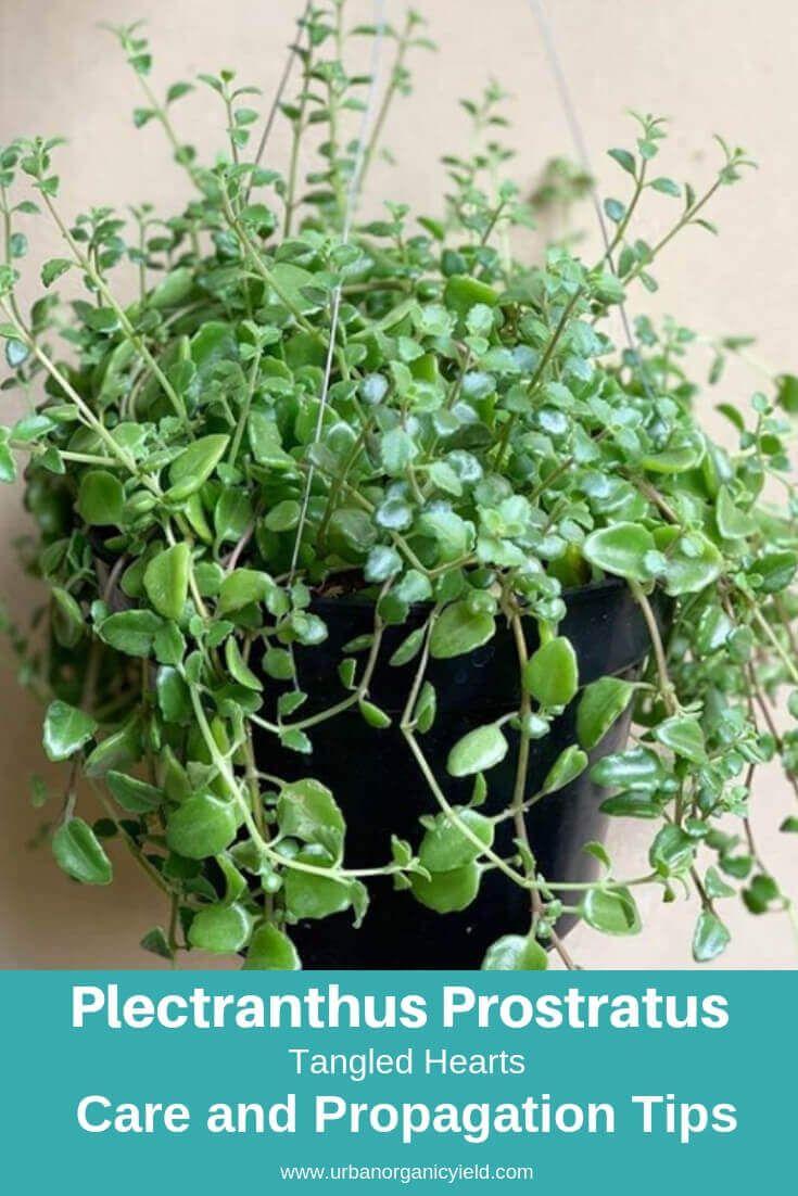 Tangled Hearts Plectranthus Prostratus Types Of Succulents Planting Succulents Succulents