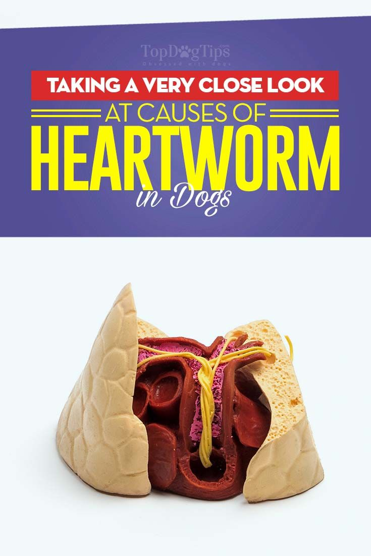 Heartworm. It's exactly what it sounds like: parasitic worms that feed on your dog's heart. They're disgusting, deadly, found all over the world and  are spread by mosquitoes. I personally received a very intimate introduction to heartworm in dogs when I adopted my pup, Skittles, a heartworm-positive survivor of Hurricane Katrina, which made me research this area much closer. #dogs #heartworm #pets #deworming #dewormer #worms #parasites